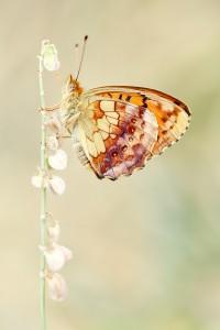 Brombeer-Perlmutterfalter (Brenthis daphne)