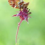 Ein Hochmoor-Perlmutterfalter (Boloria aquilonaris)