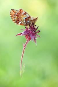 Hochmoor-Perlmutterfalter Boloria aquilonaris AN08
