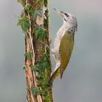Grauspecht -Picus canus-
