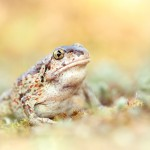 7.Knoblauchkröte-Pelobates fuscus