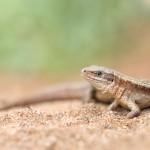 6.Waldeidechse -Zootoca vivipara