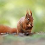 4.Eichhörnchen-Sciurus vulgaris