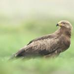 Schreiadler-Aquila pomarina