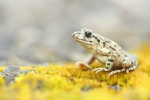Westliche Schlammtaucher- Pelodytes punctatus