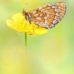 Goldener Scheckenfalter-Euphydryas aurinia