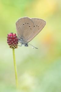 Dunkler Wiesenknopf-Ameisenbläuling - Phengaris nausithous