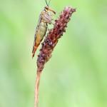 Gemeine Skorpionsfliege - Panorpa communis