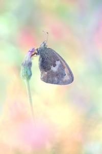 Kleine Wiesenvögelchen - Coenonympha pamphilus