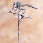 Burschen Raubfliege - Tolmerus cingulatus
