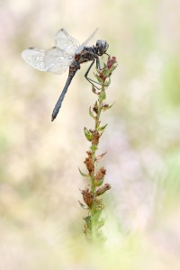 Schwarze Heidelibelle - Sympetrum danae