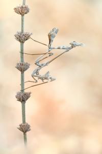 Hauben Fangschrecke - Empusa fasciata