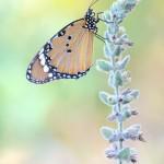 Kleiner Monarch - Danaus chrysippus