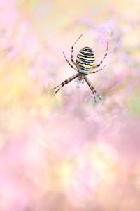 Wespenspinne - Argiope bruennichi