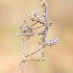 Hauben-Fangschrecke - Empusa fasciata