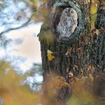 Waldkauz - Strix aluco