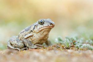 Knoblauchkröte - Pelobates fuscus
