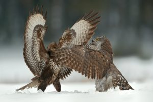 B02I7557.Accipiter-gentilis.vs.Buteo-buteo.1.web.final
