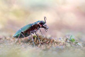 _50A7811.Feldsandläufer.Cicindela-campestris.2017.web.final