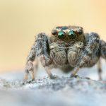 Springspinne - Evarcha falcata  ♂