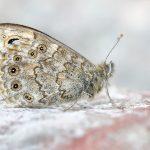 _C4A9595.Mauerfuchs---Lasiommata-megera.2017.2.web.final