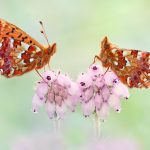 Hochmoor Perlmutterfalter  - Boloria aquilonaris