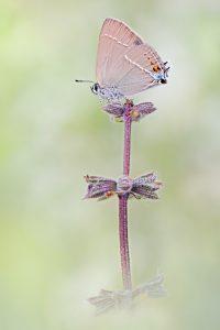 Kreuzdorn-Zipfelfalter