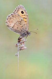 Rotbindiger Samtfalter - Arethusana arethusa. Der Rotbindige Samtfalter (Arethusana arethusa) ist ein Schmetterling (Tagfalter) aus der Familie der Edelfalter (Nymphalidae).