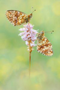 Mädesüß-Perlmutterfalter - Brenthis ino Der Mädesüß-Perlmutterfalter oder Violetter Silberfalter ,fliegt in einer Generation von Mitte Mai bis Mitte August.