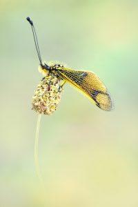 350A0171.-Langfühlerige-Schmetterlingshaft.Libelloides-longicornis.2018.1.web.final